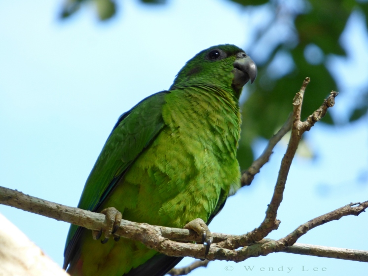 Black-billed parrot, Stewart Town in Cockpit Country © Wendy Lee