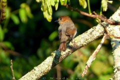 Female Jamaican becard, Stewart Town in the Cockpit Country © Wendy Lee
