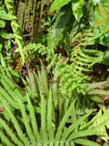 Ferns, Stewart Town in Cockpit Country © Wendy Lee