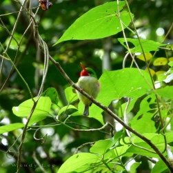 Jamaican Tody, Stewart Town in Cockpit Country © Wendy Lee