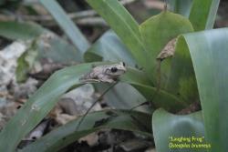 Laughing frog