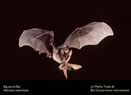 Macrotus waterhousii with sphyngidae moth_7101301