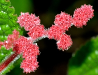 Pilea grandifolia