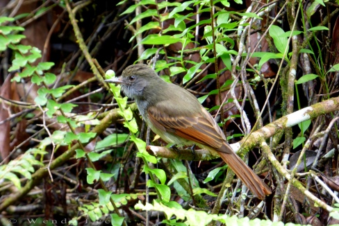 Rufous-tailed flycatcher, Stewart Town in Cockpit Country