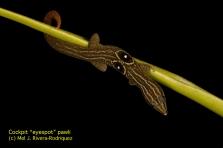 Sphaerodactylus_semasiops_Mel-Rivera