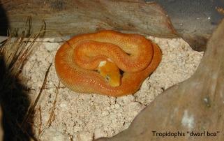 Tropidophis dwarf boa